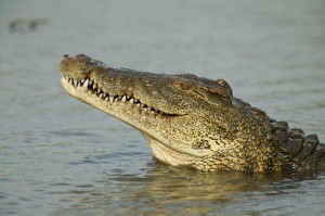 Scary truth about Nile crocodiles in Florida waters