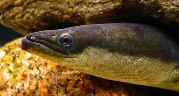 Rare American eel spotted in Sargasso Sea