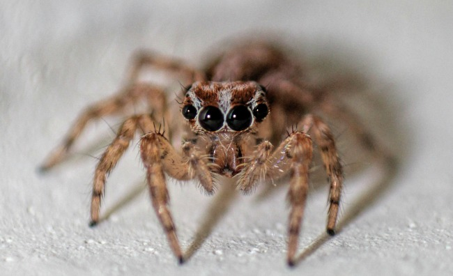 Listening in: Spiders can 'hear' you scream