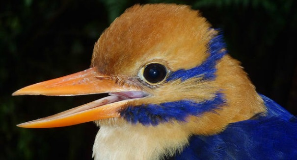 Rare kingfisher killed in the name of science