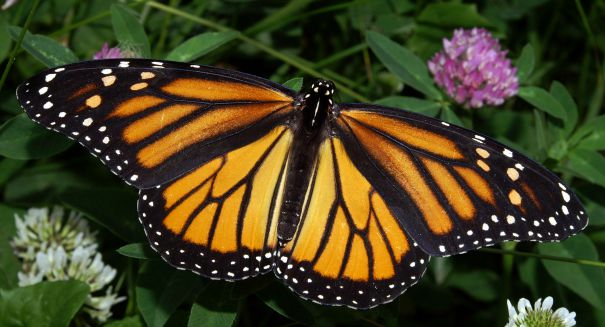 Scientists crack huge mystery about monarch butterflies