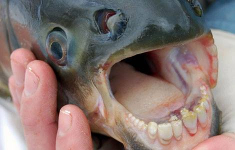 Amazonian fish with human-like teeth discovered in California