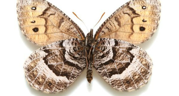 Scientists shocked by rare hybrid Alaskan butterfly