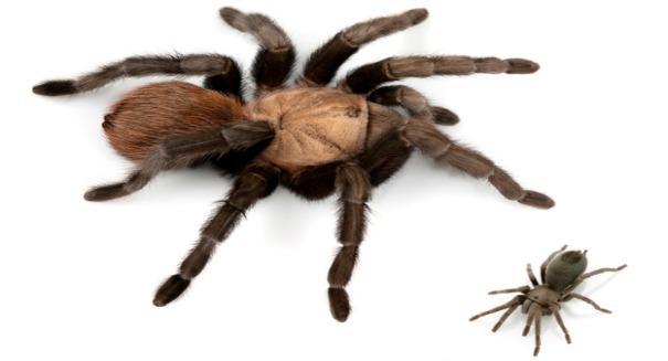 Eight-legged teddy bears: Scientists find 14 new tarantula species