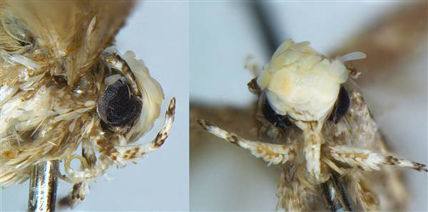 This moth looks like Donald Trump … seriously