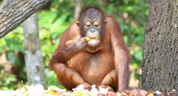 The biggest threat to orangutans? You may be surprised