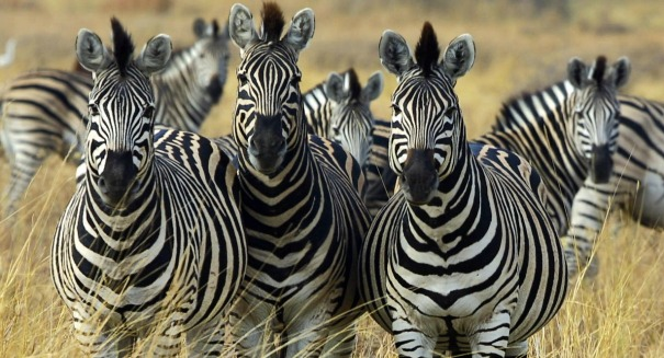 Why do zebras have stripes? You may be surprised