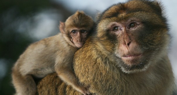 Amazing study shows monkeys could potentially talk