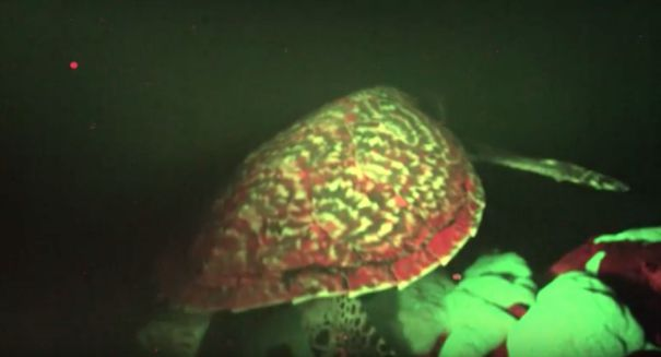 Biologists shocked to discover a sea turtle that glows in the dark