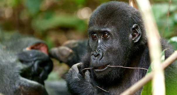 Scientists crack gorilla genome, and were stunned by what they found