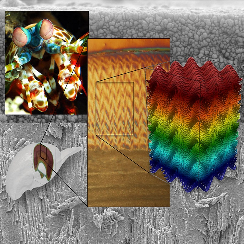 Mantis shrimp inspires new super strong material