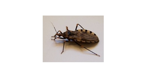 Scientists stunned by 'kissing bug' disease