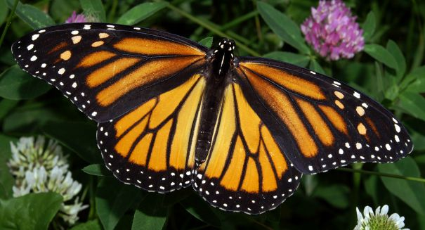 Monarch butterflies invade Mexico