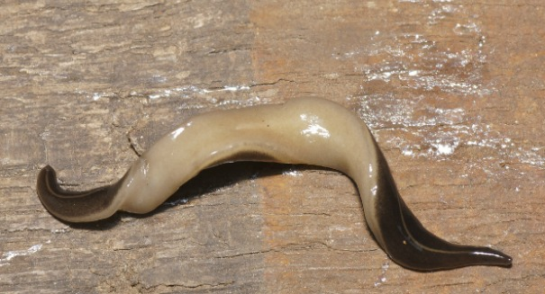 Invasive New Guinea flatworm lands on Florida's shores