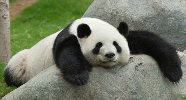 What makes these giant pandas so lazy?