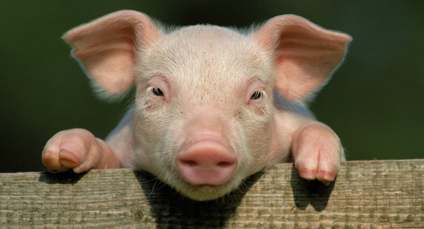 Need an organ transplant? Your donor might be a pig