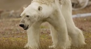 Shocking video of polar bear stuns the world