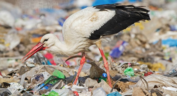 Alarming report – Storks are gorging on garbage