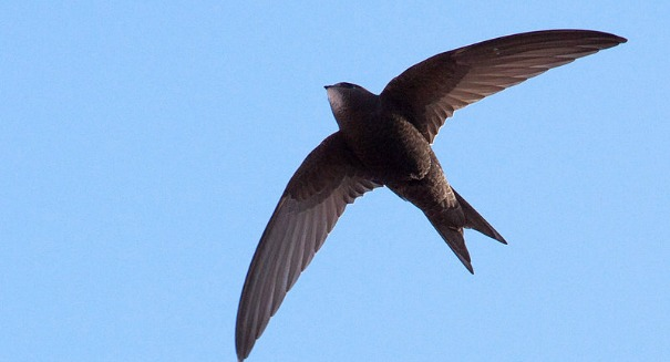Scientists amazed at what this common swift can do