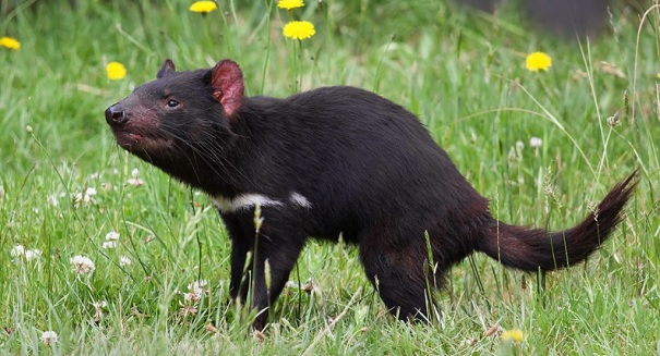 Crowdfunding campaign leads to major discovery of healthy Tasmanian devils