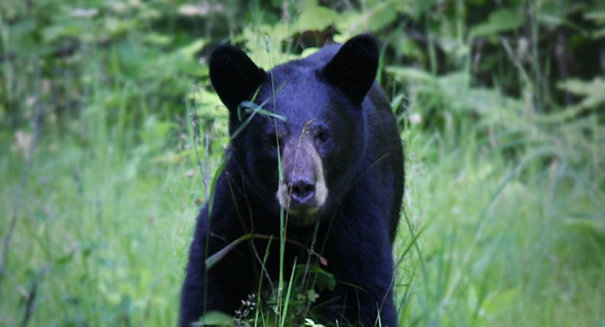 "Drones are causing bears to ""freak out"""