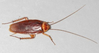 """These """"roaches"""" would be a welcome sight following a disaster"""