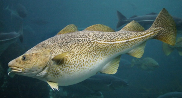 Climate change turns cod to chowder in the Gulf of Maine