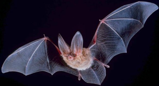 Scientists solve the mystery of complex bat maneuvers
