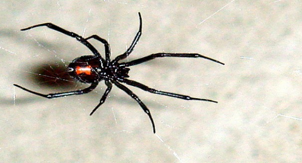 Wherever they go, black widows weave a web of secrets