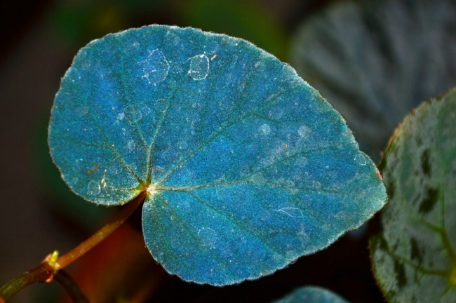 This amazing plant shimmers blue to help itself survive