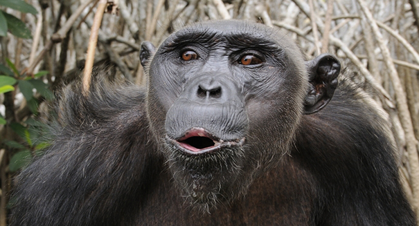 Scientists discover new missing link between apes and humans