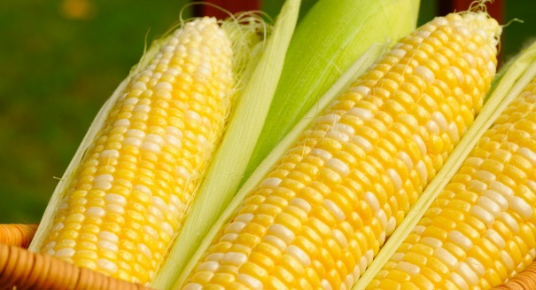 Are GMOs safe? One study's shocking claim