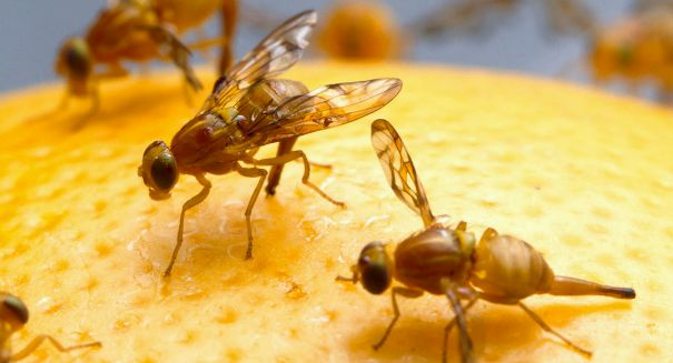 Florida's $700 million fruit industry shut down by invasive Oriental fruit fly