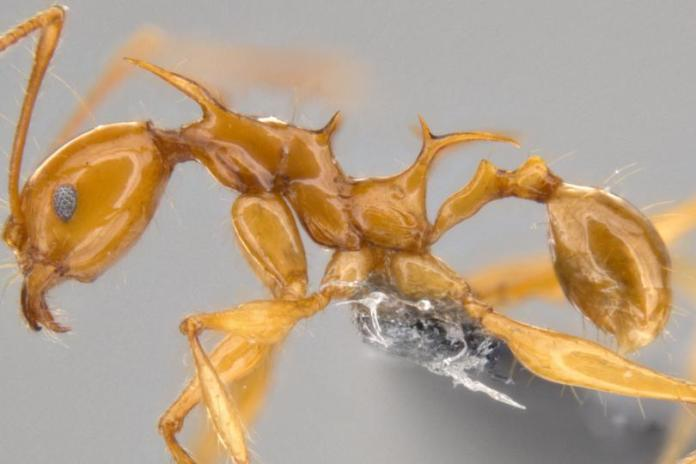 Dragon ants: Game of Thrones gives inspiration to new species
