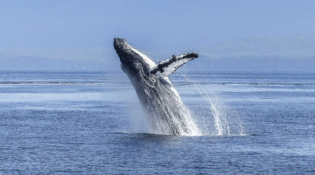 Frightening discovery about humpback whales alarm scientists