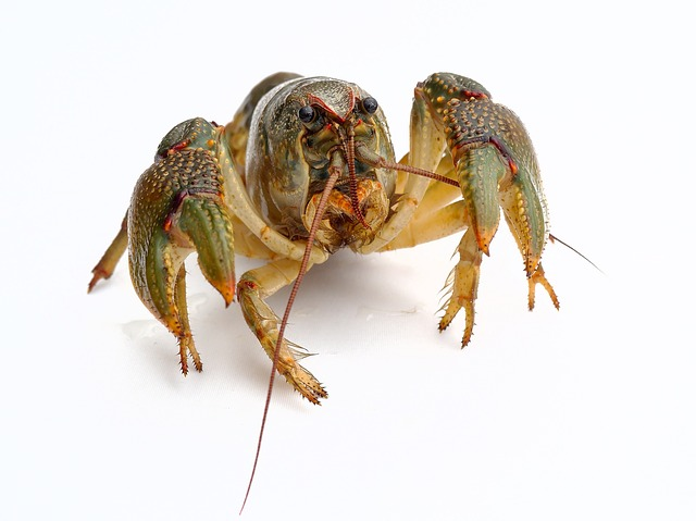 How do lobsters eat jellyfish without getting stung?