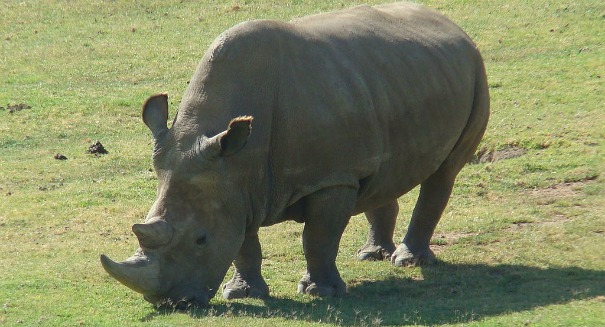 There are now only 3 white rhinos left on Earth