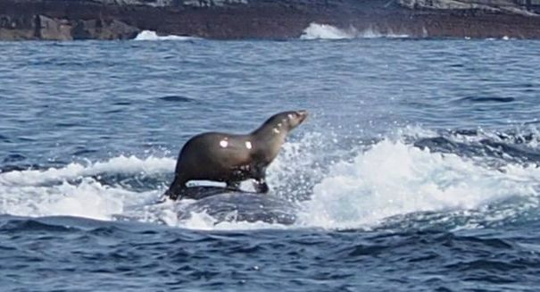 Seal gets tubed on the back of a Humback Whale