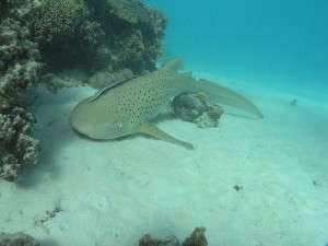 What this zebra shark managed to do is baffling scientists