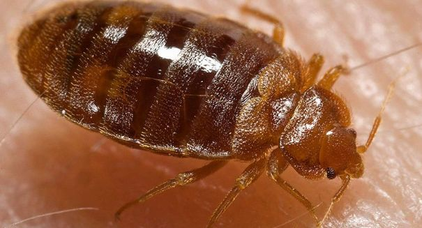Bedbugs are evolving to resist pesticides and colonies are on the rise