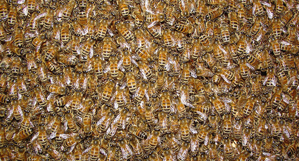 Scientists place blame for the global demise of honeybees