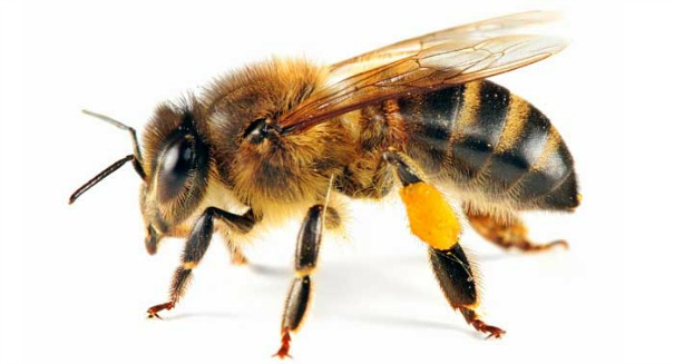 Night of the living dead, zombie honeybees caused by tiny flies