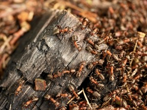 """These """"crazy"""" ants are marching on your home electronics"""