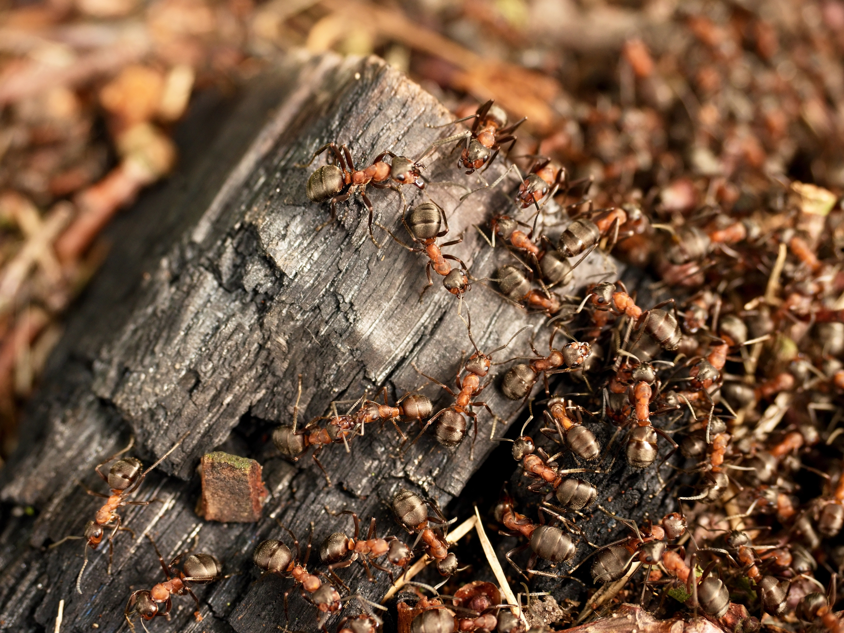 "These ""crazy"" ants are marching on your home electronics"