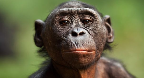 Bonobos make squeaks and peeps that sound just like human babies