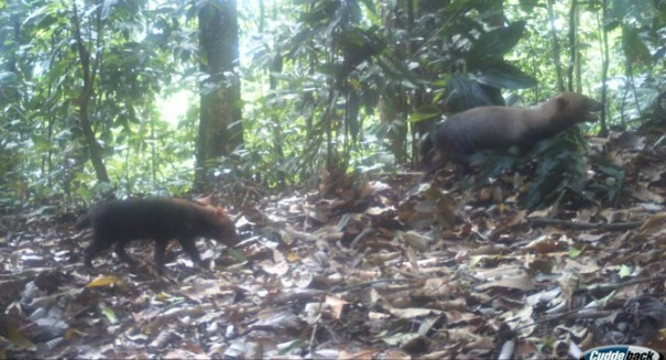 Scientists shocked by rare glimpse of mysterious bush dog