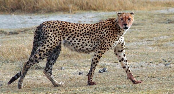 Are cheetahs becoming extinct?