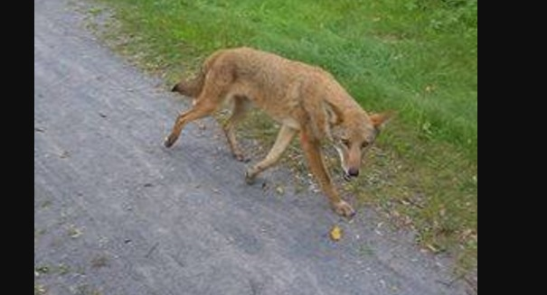 Rabid coyote attacks woman in New York