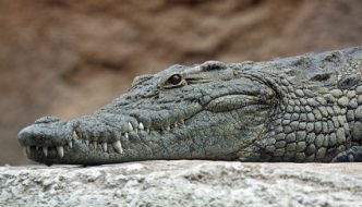 Outrageous crocodile experiment stuns scientists