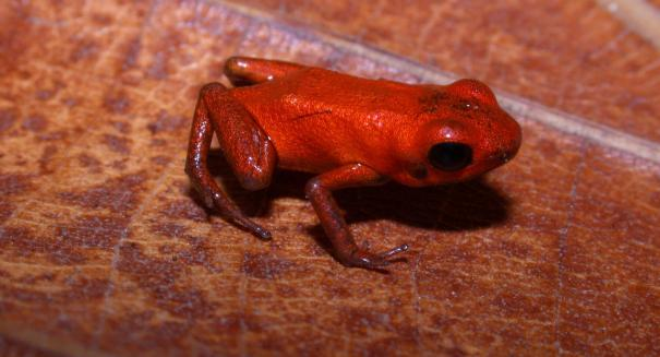 Deadly frogs discovered in the Americas